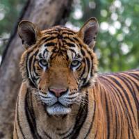 tiger-1822537_1280