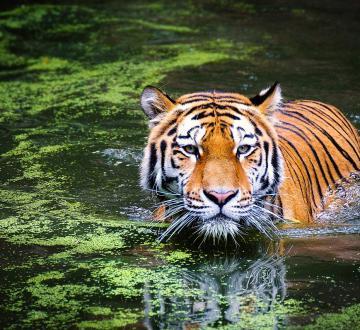 tiger-2535888_1280